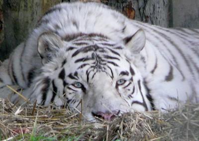 Unhappy Tiger